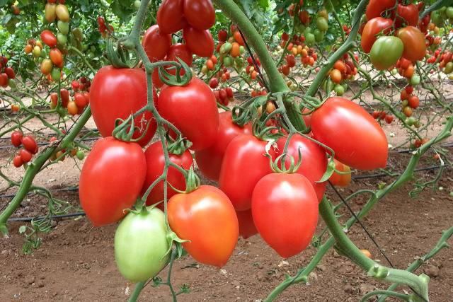Лучшие сорта томатов для Юга России в открытом грунте
