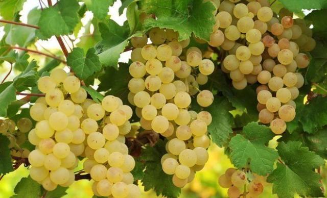 виноград-почва.