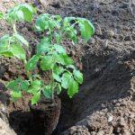 Когда высаживать рассаду помидоров в открытый грунт