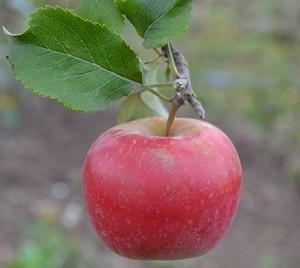 Яблоня иммунная к парше Благая весть: описание сорта