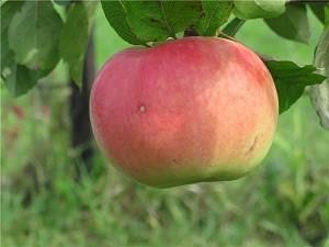 Яблоня Бессемянка Мичуринская: описание сорта