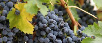 Виноград Кишмиш черный: описание сорта