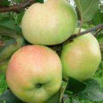 Яблоня зимняя  Богатырь: описание сорта