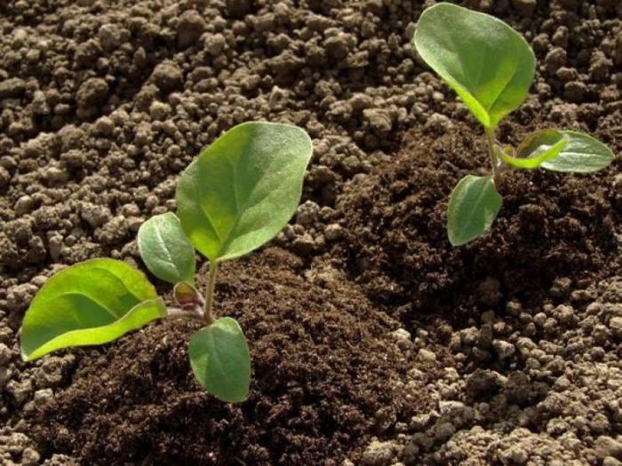 Когда высаживать рассаду баклажанов в открытый грунт в 2020 году