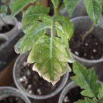 Почему белеют листья у рассады помидор