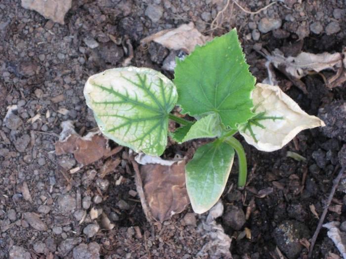 белееют-листья-огурцов