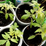 Почему рассада помидор бледная, чем подкормить
