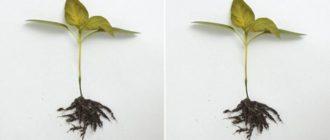 Черная ножка у рассады перца: методы борьбы, что делать, фото