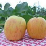 Челябинская яблоня Бочонок: описание сорта