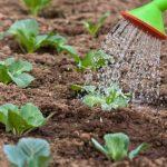 Когда высаживать рассаду капусты в открытый грунт в 2019 году