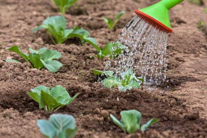 Когда высаживать рассаду капусты в открытый грунт в 2020 году