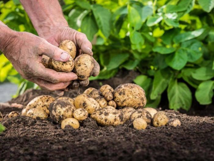 картофель-предшественники