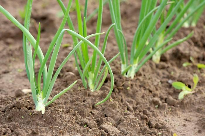 Чем подкормить лук, посаженный под зиму, весной