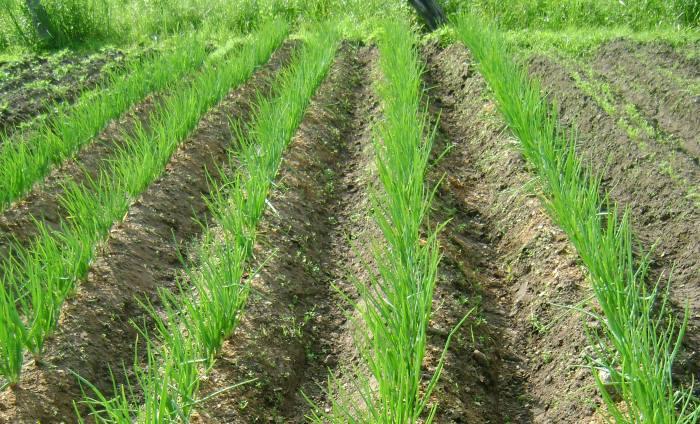 Можно ли сажать лук после лука на следующий год