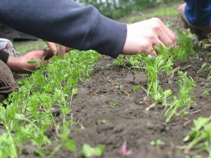 Когда сажать морковь в Ленинградской области