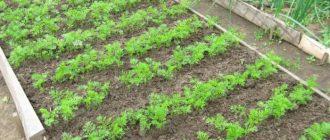 Как посадить морковь, чтобы не прореживать