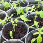 Почему не растет рассада помидор после пикировки