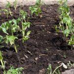 Чем обработать рассаду томатов после высадки в открытый грунт