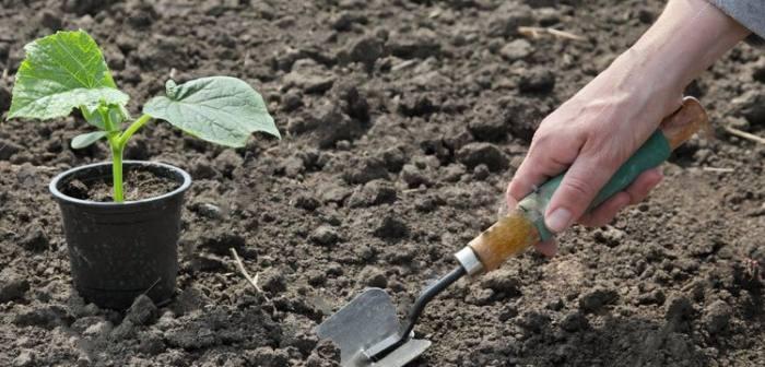 Когда высаживать рассаду огурцов в открытый грунт в 2020 году