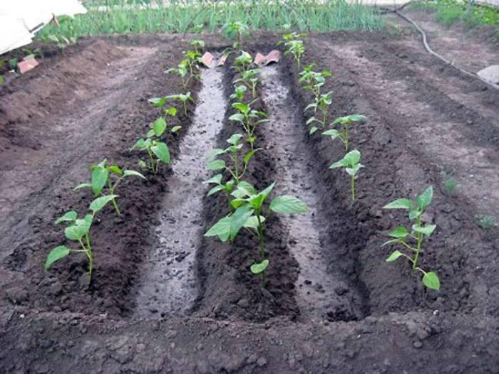 Когда высаживать рассаду перцев в открытый грунт в 2020 году