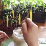 Подкормка рассады перца после пикировки народными средствами