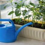 Как часто поливать рассаду перцев на подоконнике