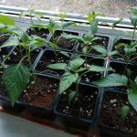 Чем подкормить рассаду перцев чтобы были толстенькие стебли