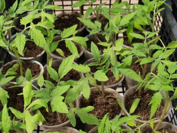 Подкормка рассады томатов после пикировки народными средствами