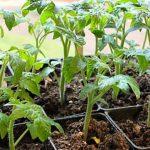 Чем подкормить рассаду томатов чтобы были толстенькие