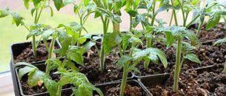 Чем подкормить рассаду томатов чтобы были крепкие стебли