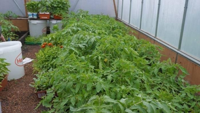 помидор-подкормка