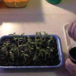 Как пикировать томаты на рассаду в стаканчики