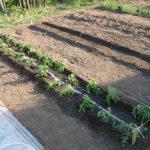 Когда высаживать рассаду томатов в открытый грунт в 2019 году