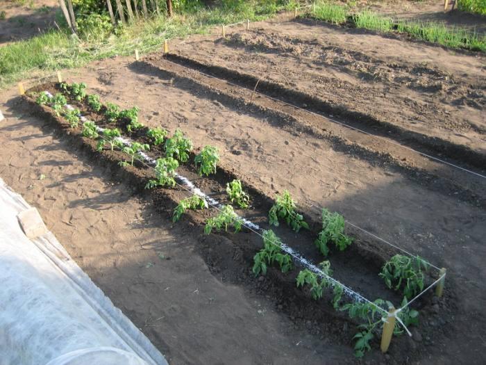 Когда высаживать рассаду томатов в открытый грунт в 2020 году