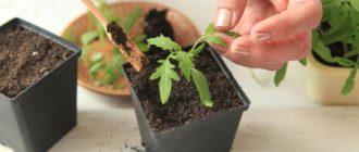 Благоприятные дни для пикировки томатов в апреле 2020 по лунному календарю