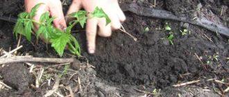 На какую глубину высаживать рассаду томатов в открытый грунт