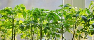 Янтарная кислота для рассады томатов: как использовать