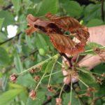 Почему сохнут листья у вишни, что делать?