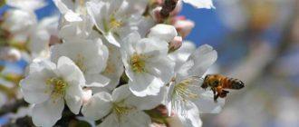 Почему вишня цветет, но не плодоносит