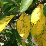 Почему желтеют листья вишни летом, что делать