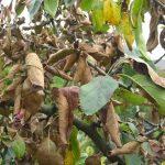 Почему сохнут листья у яблони раньше времени?