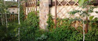 Как избавиться от дикого винограда на участке