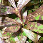 Почему листья пионов покрылись коричневыми пятнами