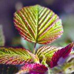 Почему краснеют листья малины, что делать