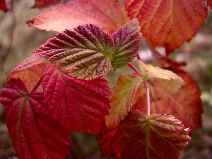 малина-красные-листья.