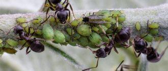 Как избавиться от муравьев на винограде