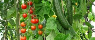 Можно ли сажать огурцы после помидоров