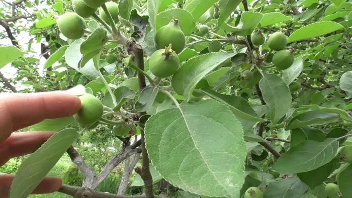опадает-завязь-яблони.