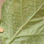 Почему у петунии липкие листья, что делать