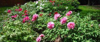 Почему не цветут пионы после пересадки